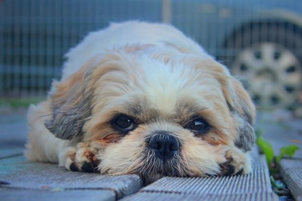 dog-Pixabay-sypacc